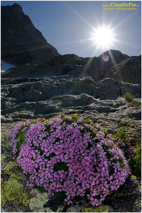 Preferenza Fiori di montagna, Flowers altitude, Flores de altitud, fiori  SC88