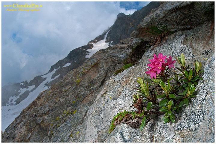 Fiori di montagna, Flowers altitude, Flores de altitud, fiori alpini, montagn...