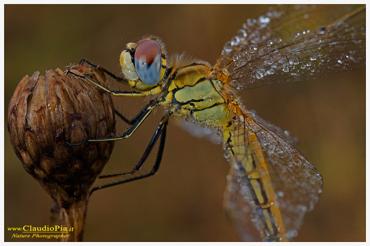 sympetrum fonscolombii, libellula, dragonfly, foto