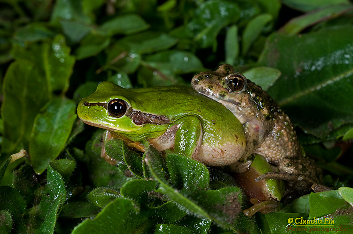 Pelodytes punctatus, Pelodite punteggiato, Common Parsley Frog, Sapillo moteado común