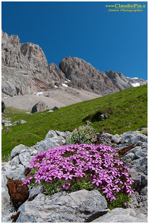 Fiori di montagna, fiori alpini, val di fassa, alpine flowers, Dolomiti, Natu...